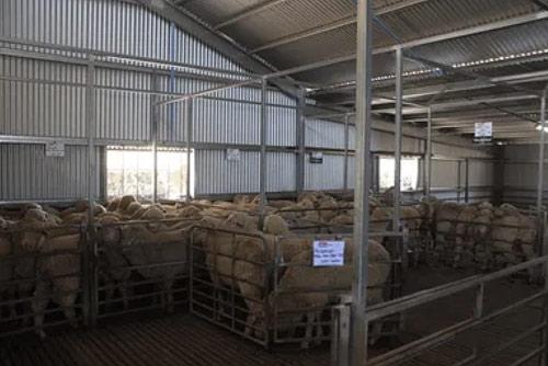 Glenowie Poll Merino Stud yarding shed